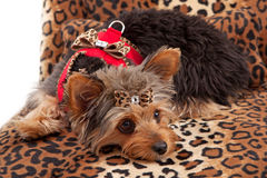 Yorkshire Terrier Laying on Animal Print Bed. A cute Yorkshire Terrier Dog laying on an animal print bed and wearing a fancy harness and bow royalty free stock photography
