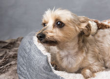Yorkshire terrier laying down in her basket Stock Photos