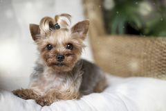 Yorkshire terrier laying on a white chair royalty free stock photography