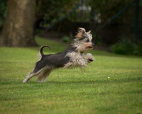 Yorkshire terrier leaping. A Yorkshire terrier leaping on a green grassy field Stock Photos