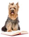 Yorkshire Terrier leyó el libro Aislado en el fondo blanco imagen de archivo libre de regalías