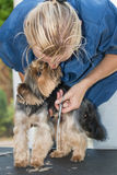 Yorkshire terrier is licking face of the groomer woamn Stock Photo