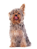 Yorkshire Terrier licking its nose Royalty Free Stock Images