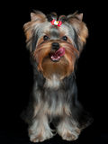 Yorkshire Terrier licks Royalty Free Stock Image
