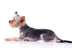 Yorkshire terrier lies Royalty Free Stock Image