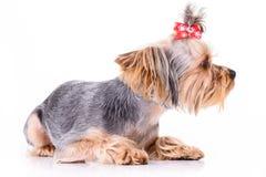 Yorkshire terrier lies Stock Photos