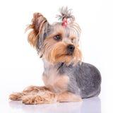 Yorkshire terrier lies Stock Photo