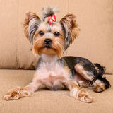Yorkshire terrier lies Stock Photo