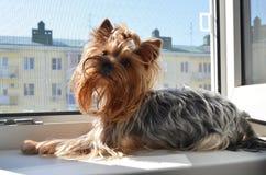 Yorkshire Terrier ligt Stock Afbeelding