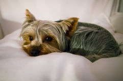 Yorkshire terrier little pet dog Royalty Free Stock Photos