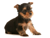 Yorkshire terrier little puppy Royalty Free Stock Photos