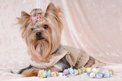 Yorkshire terrier liyng on light velvet Stock Photo