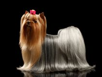 Yorkshire Terrier with long groomed Hair Stands on black Royalty Free Stock Photo