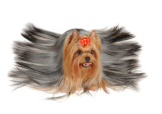 Yorkshire Terrier with long hair. Isolated on the white background Royalty Free Stock Photos