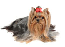 Yorkshire Terrier with long hair Royalty Free Stock Photography