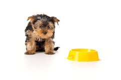 Yorkshire terrier looking Stock Photography