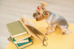 Yorkshire terrier is looking into book on the table. Royalty Free Stock Image