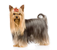 Yorkshire Terrier looking at camera. isolated on white backgroun Royalty Free Stock Images