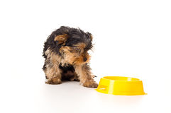 Yorkshire Terrier Looking Down Stock Image