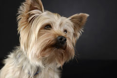 Yorkshire Terrier looking out of a the picture in dark studio. Yorkshire Terrier looking out of the picture in dark studio Royalty Free Stock Photo