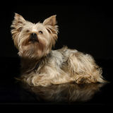 Yorkshire Terrier looking up in a dark photo studio. Yorkshire Terrier looking up inblack background Royalty Free Stock Image