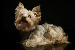 Yorkshire Terrier looking up in a dark photom  studio. Yorkshire Terrier looking up in dark photom studio Royalty Free Stock Images