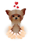 Yorkshire Terrier in love. Royalty Free Stock Photo