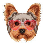 Yorkshire Terrier  in Love! Portrait of Yorkshire Terrier with heart shaped sunglasses. Stock Image
