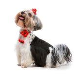 Yorkshire Terrier. Lovely male of the Yorkshire Terrier on white Stock Image