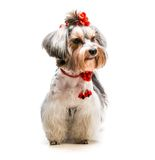 Yorkshire Terrier. Lovely male of the Yorkshire Terrier on white background Royalty Free Stock Images
