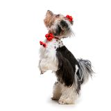 Yorkshire Terrier. Lovely male of the Yorkshire Terrier on white background Stock Photography