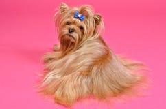 Yorkshire terrier lying Stock Photos