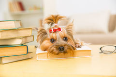 Yorkshire terrier is lying on the book. Royalty Free Stock Images