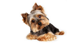 Yorkshire Terrier , lying down. Portrait of yorkshire  lying down in front of a white background Royalty Free Stock Images