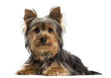 Yorkshire terrier lying, looking at the camera, isolated Royalty Free Stock Photography