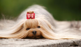 Yorkshire  terrier lying outdoors. Yorkshire terrier with long brown hair and red hairpin lying outdoors on a grey stone. Daylight, stray light, focus on eyes Royalty Free Stock Photos