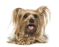 Yorkshire Terrier lying and panting, isolated Royalty Free Stock Image