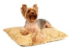 The Yorkshire Terrier lying on the pillow. This picture depicts a Yorkshire Terrier lying on the pillow Royalty Free Stock Photo