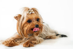 Yorkshire Terrier. Lying on a white background Royalty Free Stock Photography