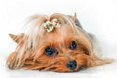 Yorkshire Terrier. Lying on a white background Stock Photos