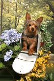 Yorkshire Terrier in a Mailbox Royalty Free Stock Images