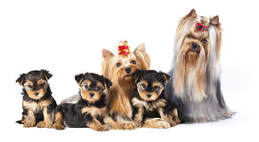 Yorkshire Terrier. Male, female, litter of puppies Royalty Free Stock Images