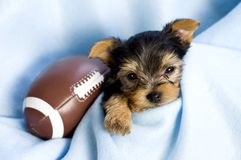 Yorkshire Terrier Male Puppy with Football. A precious Yorkshire Terrier Male Puppy with blue blanket and football, copy space Royalty Free Stock Photo