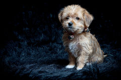 Yorkshire Terrier and Maltese Mixed Breed Puppy Stock Image