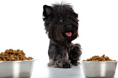 Yorkshire terrier and meal Royalty Free Stock Photos