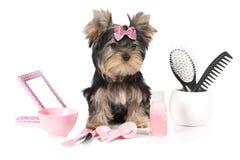Yorkshire terrier med att ansa produkter Royaltyfria Bilder