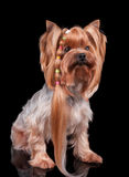 Yorkshire Terrier med den långa krullningen av hår Arkivfoto