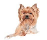 Yorkshire Terrier med den långa krullningen av hår Arkivbild