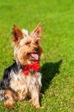 Yorkshire terrier med den utsträckta tungan och att ge en tafsa royaltyfri bild