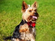 Yorkshire terrier med den utsträckta tungan och att ge en tafsa fotografering för bildbyråer